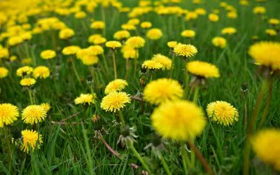 Think Spring: How To Make Dandelion Jelly